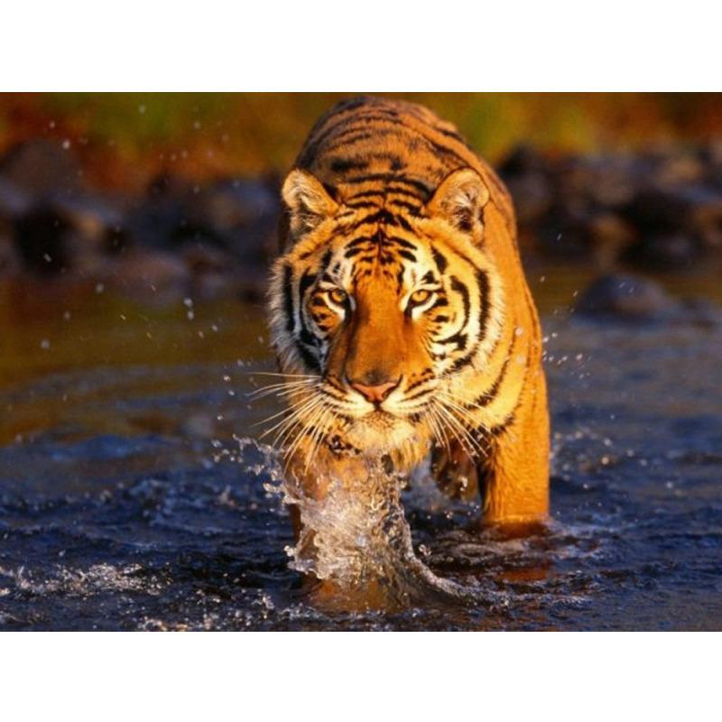 """Купить оптом Раскраски по номерам на картоне """"Тигр в воде ..."""